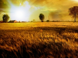 Fields Of Gold Wallpaper Photo Manipulated Nature