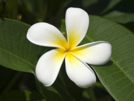 Fijian Frangipani Wallpaper Flowers Nature