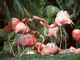 Flamingo Fun Wallpaper Birds Animals