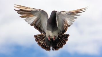 Flying Pigeon