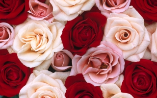 Wallpaper rose flowers wallpapers for free download about 3536 fragrant roses mightylinksfo