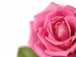 Fresh pink rose Wallpaper Flowers Nature