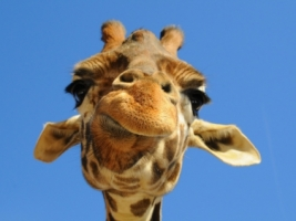 Funny Giraffe Wallpaper Giraffes Animals