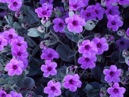 Giant Four O'Clock Flowers
