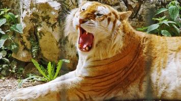 Golden Tiger  HDTV 1080p