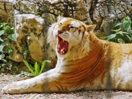 Golden Tiger Wallpaper Tigers Animals