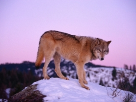 Gray Wolf at Dusk Wallpaper Wolves Animals