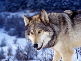 Gray Wolf in Snow Wallpaper Wolves Animals