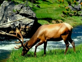 Grazing Bull Elk Wallpaper Other Animals
