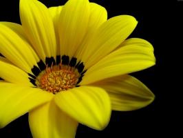 Great Yellow Flower