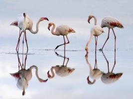 Greater Flamingos Wallpaper Birds Animals