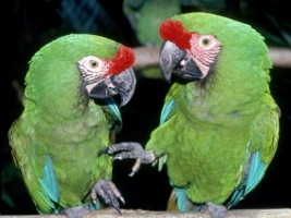 Green Macaws Wallpaper Parrots Animals