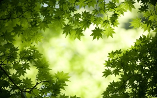 Green Maple Leaves