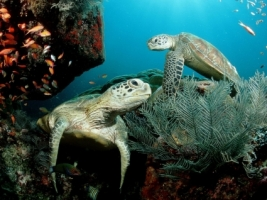 Green Sea Turtles Wallpaper Turtles Animals