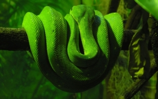 Green Snake Wallpaper Snakes Animals