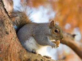 Grey Squirrel Wallpaper Other Animals