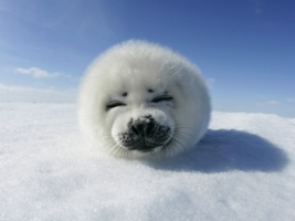 Harp Seal Wallpaper Seals Animals