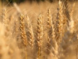Harvest Wallpaper Plants Nature