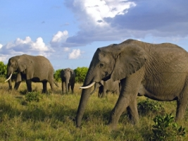 Herd of African Elephants Wallpaper Elephants Animals