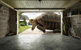 Huge Tortoise