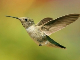 Hummingbird Wallpaper Birds Animals