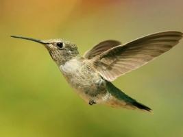 Hummingbird Wallpaper Birds Animals