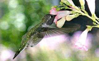 Hungry Hummingbird