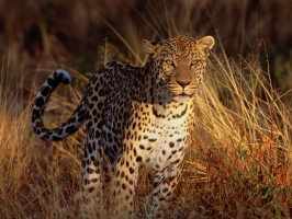 Intense Focus Leopard