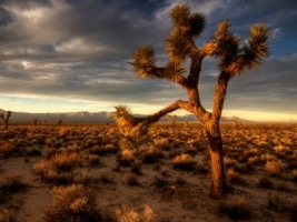 Joshua Tree Wallpaper Plants Nature