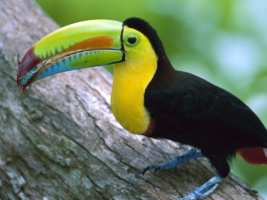 Kell Billed Toucan Eating Wallpaper Birds Animals