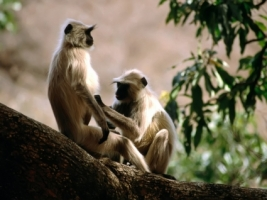 Langur Monkeys Wallpaper Other Animals