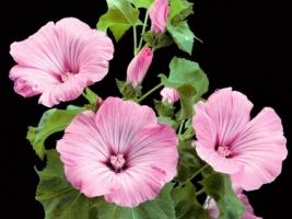 Lavatera Trimestris Hybrid Wallpaper Flowers Nature
