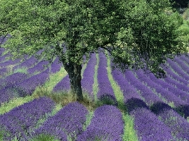 Lavender Field Wallpaper Flowers Nature