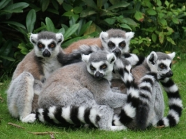 Lemurs Wallpaper Lemurs Animals