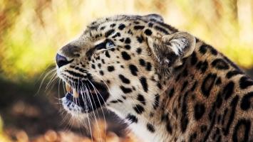 Leopard 1080p