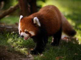 Lesser Panda Wallpaper Bears Animals