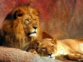 Lion Couple Wallpaper Big Cats Animals