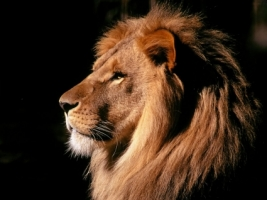 Lion thinking Wallpaper Big Cats Animals