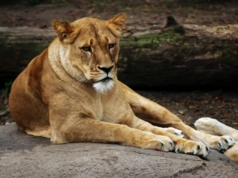 Lioness Wallpaper Big Cats Animals