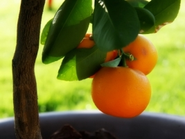 Little orange tree Wallpaper Plants Nature