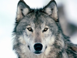 Look Into My Eyes Winter Wolf Wallpaper Wolves Animals