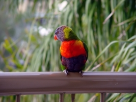 Lorikeet Noosa Queensland Wallpaper Birds Animals