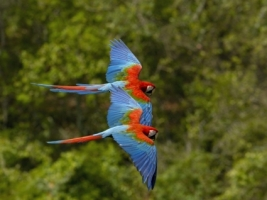 Macaws in Flight Wallpaper Parrots Animals