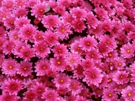 Magenta Mums Wallpaper Flowers Nature