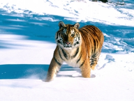 Majestic Grace, Siberian Tiger