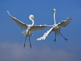 Male Great Egrets Fighting in Flight Wallpaper Birds Animals