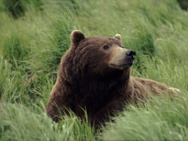 Meditatively Wallpaper Bears Animals