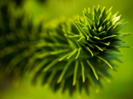 Monkey Puzzle Wallpaper Plants Nature