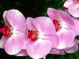 Moth Orchid Wallpaper Flowers Nature