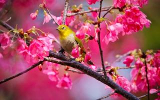 Mountain Cherry Bird